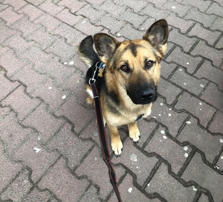 Pies w koronie