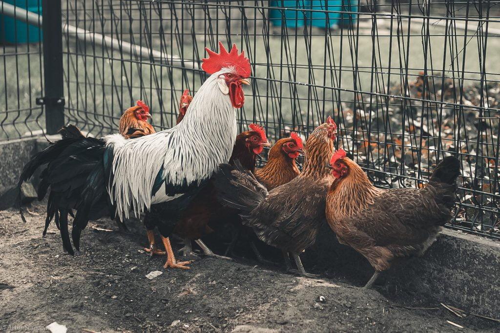 Matyldy z katowickiego Zarzecza, czyli spotkanie z kurami, które dają mnóstwo radości
